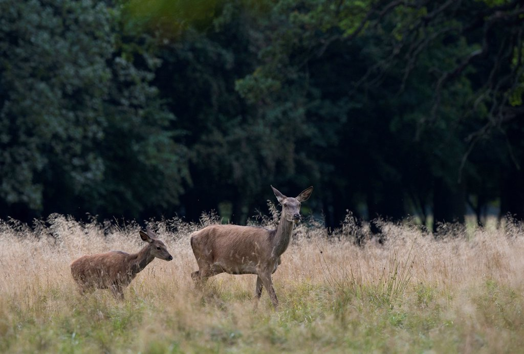 Stock Photo: 1848-754497 Red deer Cervus elaphus, Denmark, Europe