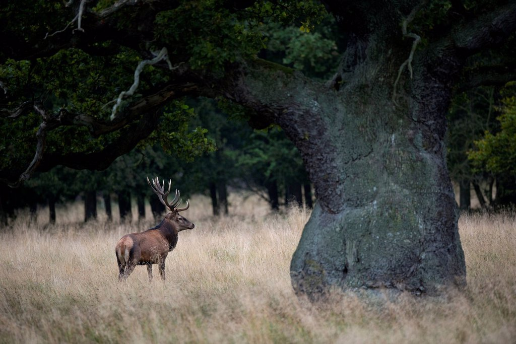 Stock Photo: 1848-754536 Red deer Cervus elaphus, stag, Denmark, Europe
