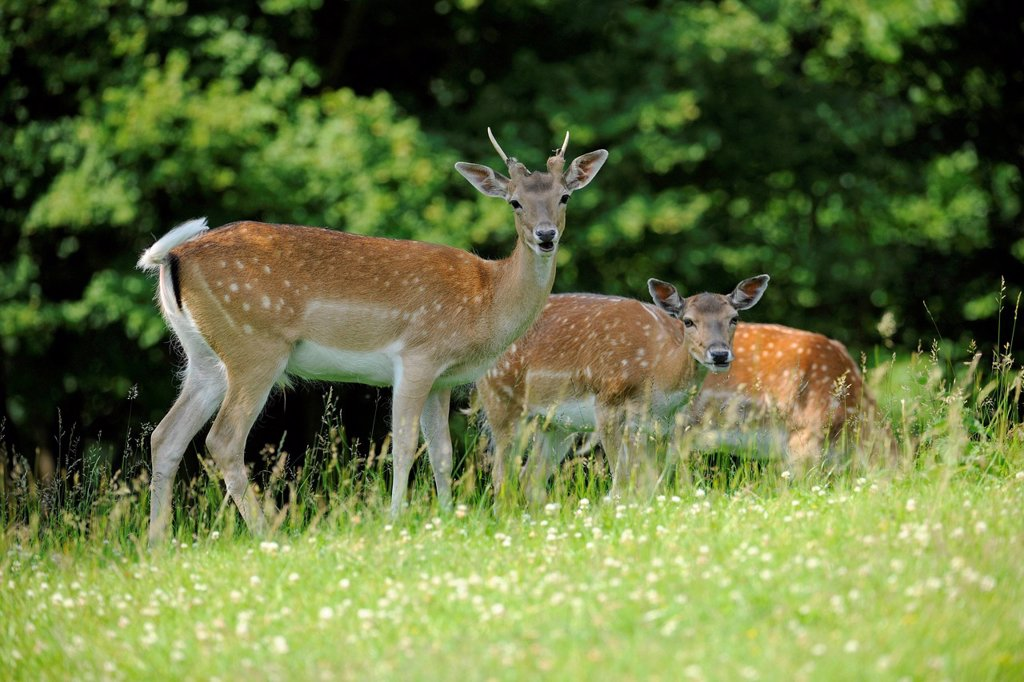 White young Fallow deers Dama dama, a stag and a doe, at a game reserve, Lower Saxony, Germany, Europe : Stock Photo