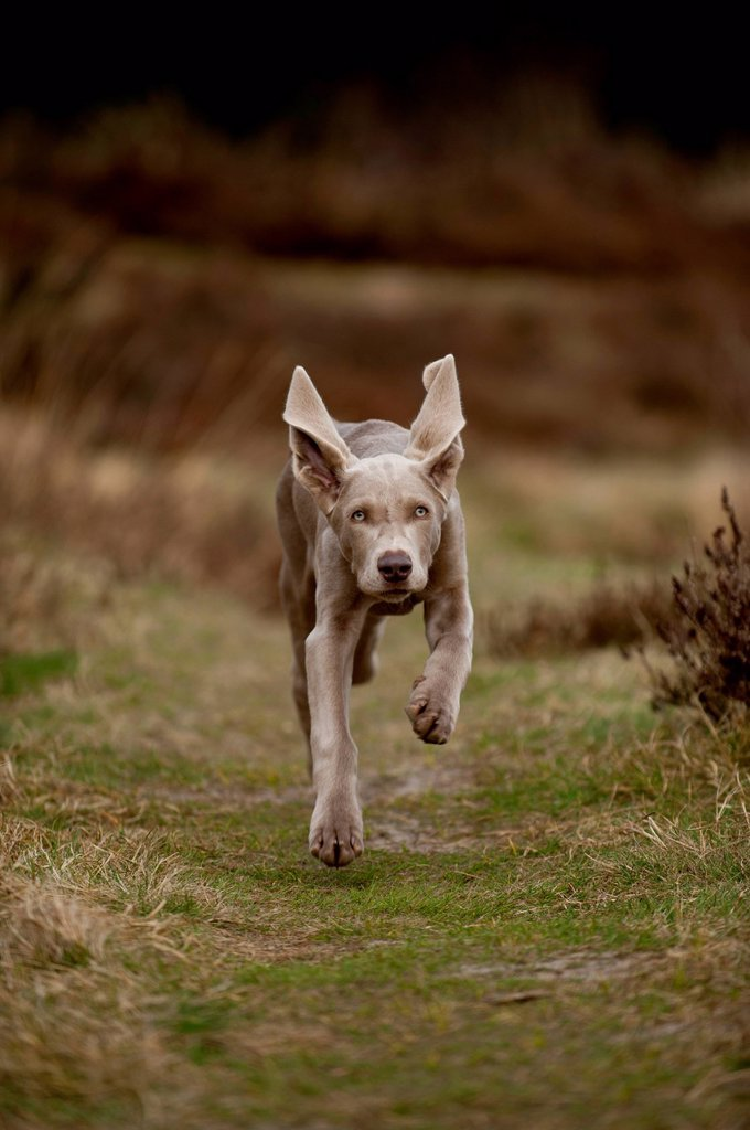 Stock Photo: 1848-755178 Galloping Weimaraner puppy