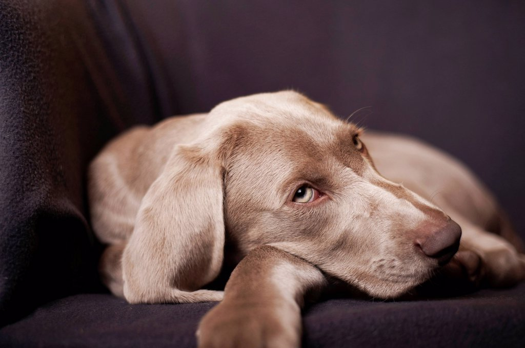 Weimaraner puppy lying on a chair : Stock Photo