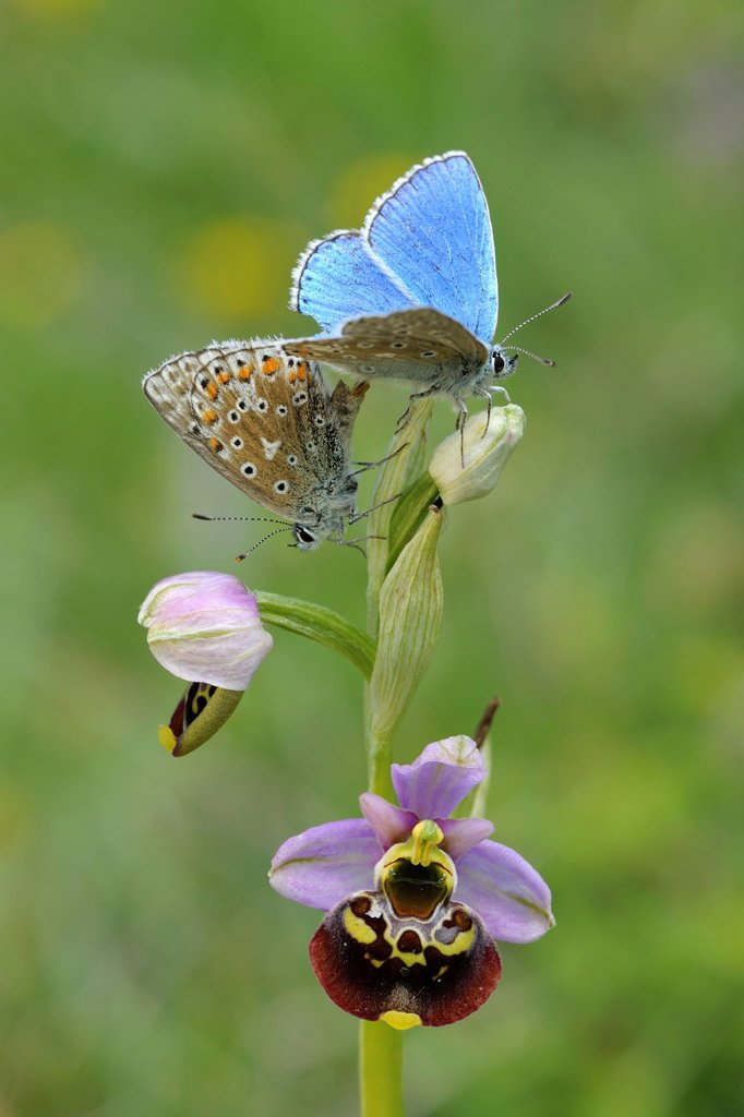 Stock Photo: 1848-755987 Common Blue Butterflies Polyommatus icarus during mating on a Late Spider_orchid Ophrys holoserica, biosphere reserve, Swabian Alb, Baden_Wuerttemberg, Germany, Europe