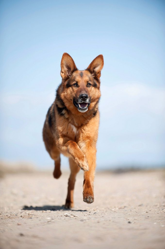 Stock Photo: 1848-756038 Galloping German Shepherd