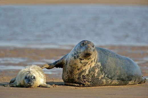Grey seal mother, halichoerus grypus, getting in contact with newborn by touching with fin Donna Nook, Lincolnshire Coast, England, UK : Stock Photo