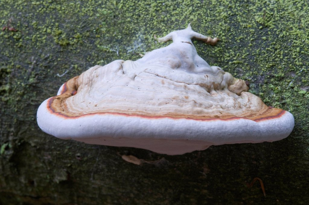 Tinder Fungus or Hoof Fungus Fomes fomentarius, Tinner Loh, Haren, Emsland, Lower Saxony, Germany, Europe : Stock Photo