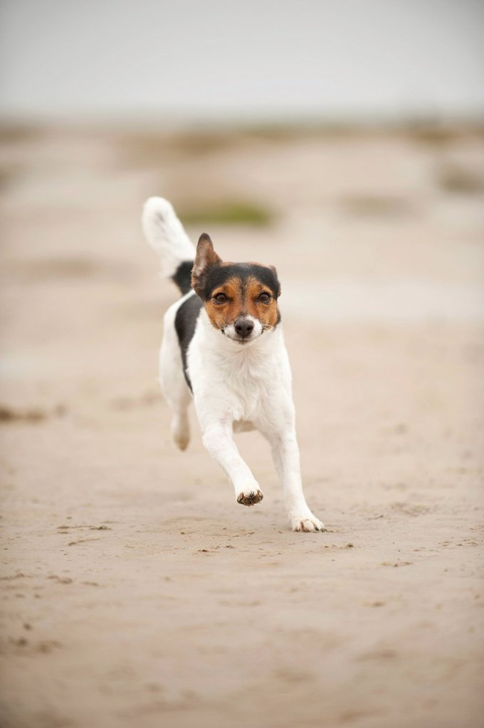 Stock Photo: 1848-758026 Galloping Jack Russell Terrier