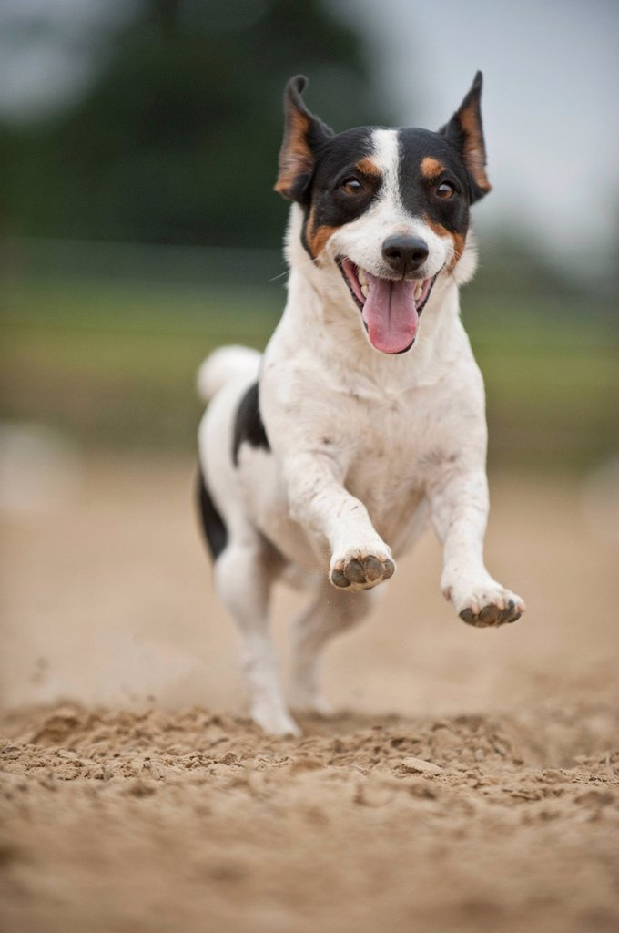 Galloping Jack Russell Terrier : Stock Photo