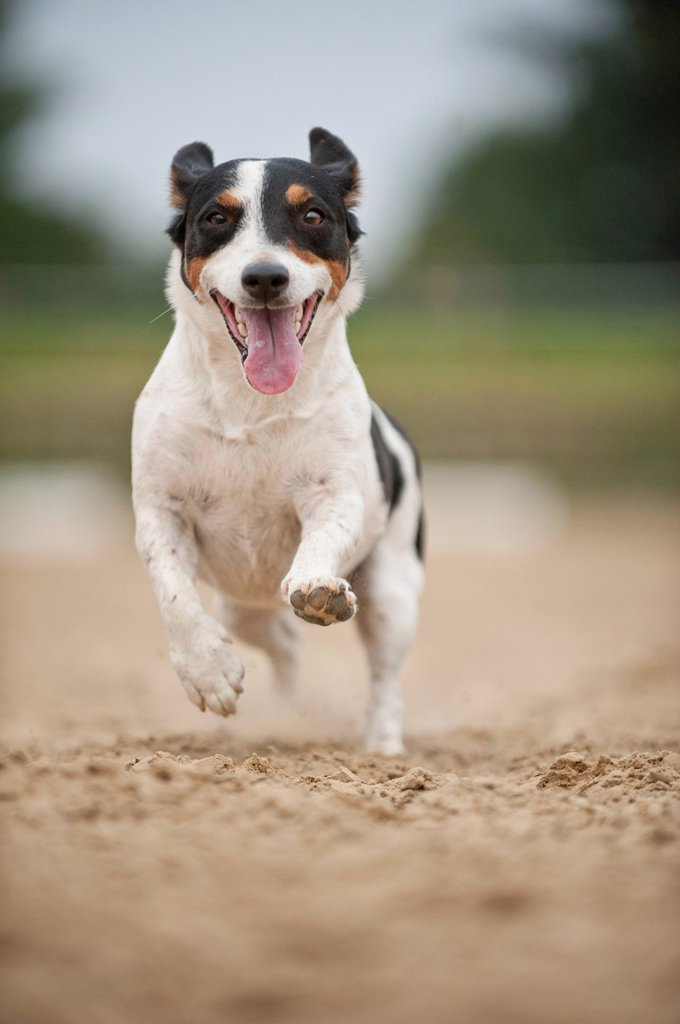 Stock Photo: 1848-758052 Galloping Jack Russell Terrier
