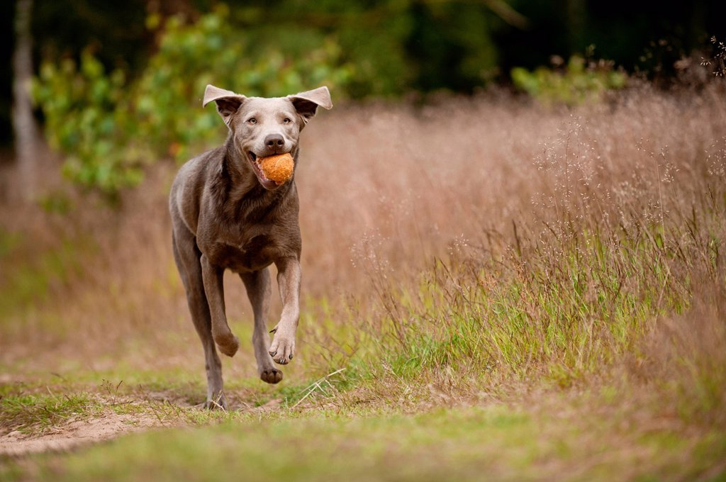 Stock Photo: 1848-758245 Labrador Retriever retrieving a ball