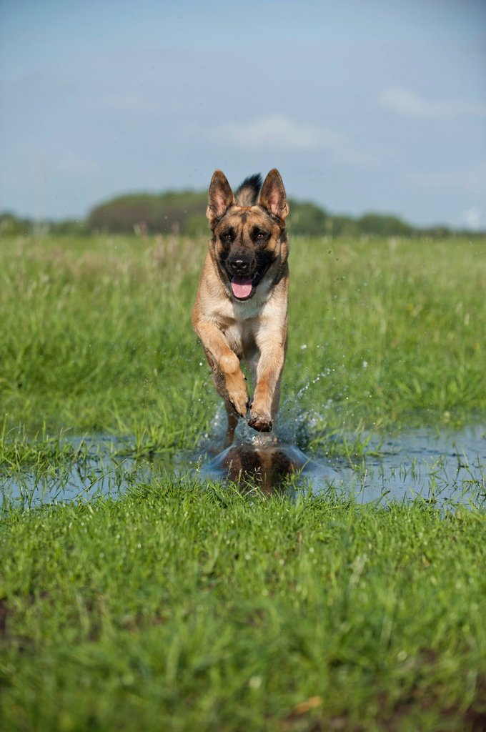 Malinois or Belgian Shepherd Dog running across a meadow : Stock Photo