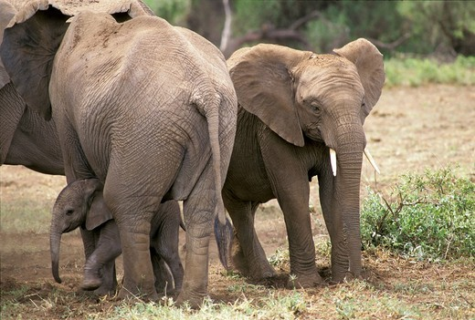 Elephants  Loxodonta africana  family with baby, Amboseli National Park, Kenya : Stock Photo