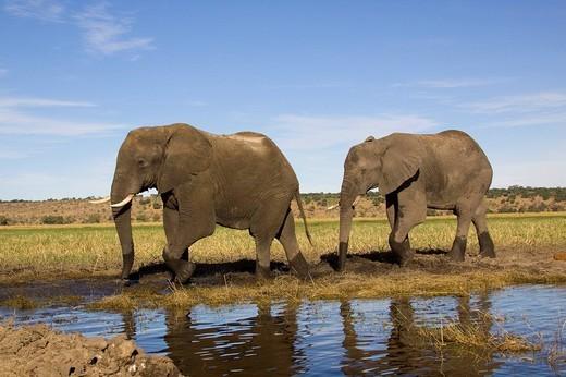 African elephants Loxodonta africana at the Chobe River, Chobe National Park, Botswana, Africa : Stock Photo