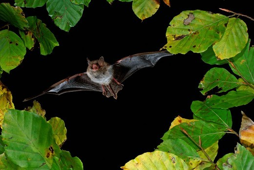 Natterer´s Bat Myotis nattereri in flight : Stock Photo