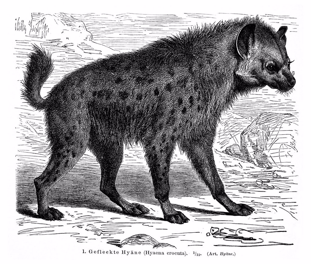 Spotted Hyena (Hyaena crocuta), illustration from Meyers Konversations-Lexikon encyclopedia, 1897 : Stock Photo