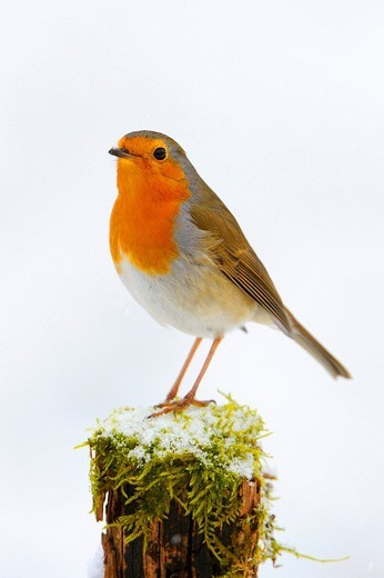 Stock Photo: 1848-76780 European Robin Erithacus rubecula
