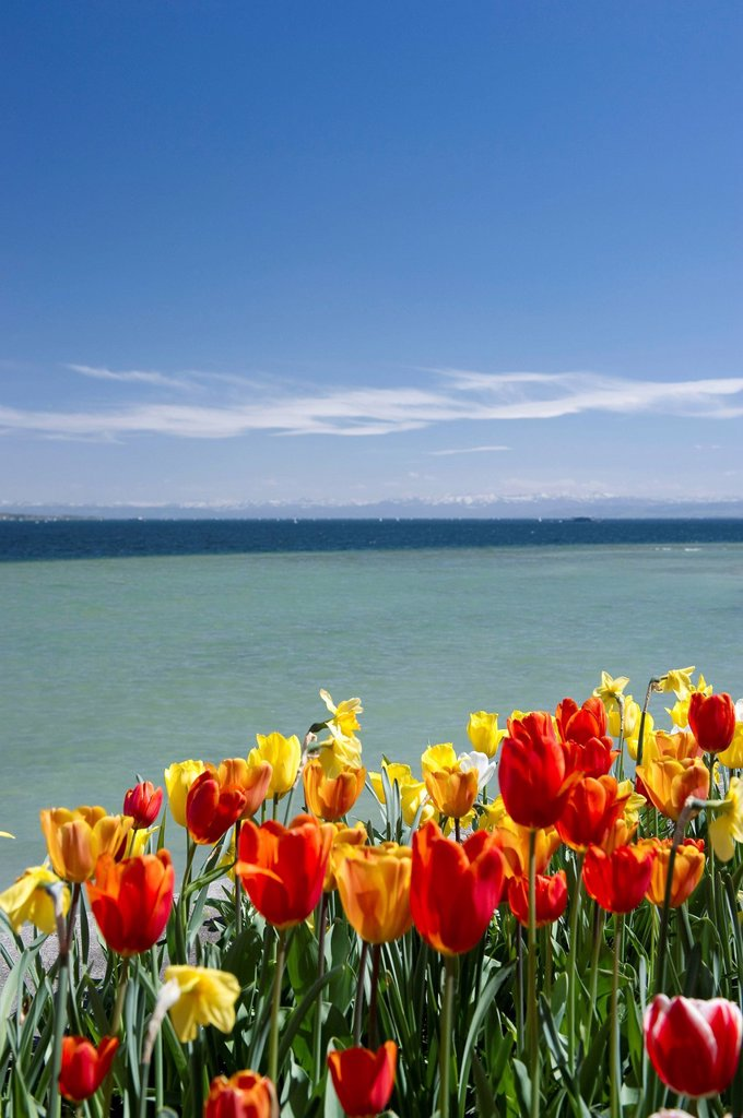 Stock Photo: 1848-768574 Flowering tulips (Tulipa) at Lake Constance