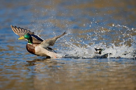 Stock Photo: 1848-76970 Mallard Anas platyrhynchos being forced away from the territory of a Common Goldeneye Bucephala clangula, Vaestergoetland, Sweden, Scandinavia, Europe