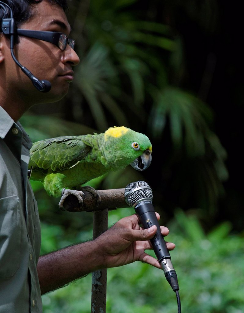 Stock Photo: 1848-772138 Amigo, a Yellow-naped Amazon Parrot and the star of the Birds N Buddies Show, can sing in three different languages, at Jurong Bird Park in Singapore, Asia
