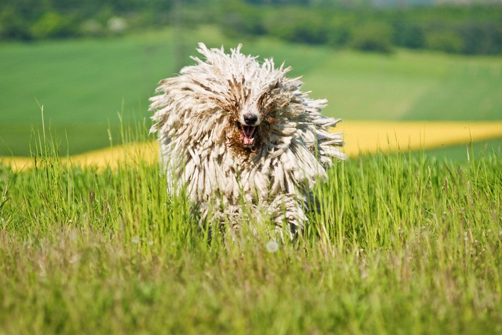 Stock Photo: 1848-77284 Komondor, Hungarian livestock guardian dog, running over meadow
