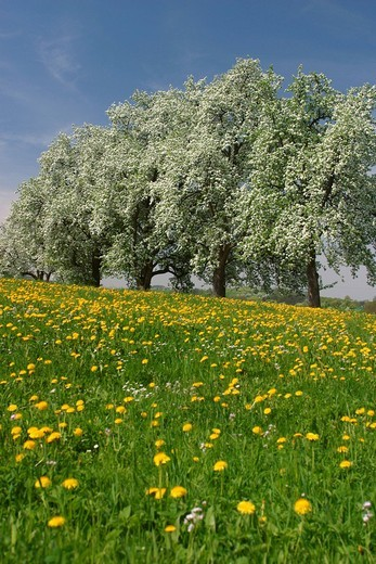 Blooming fruit trees, Mostviertel, Lower Austria, Austria : Stock Photo