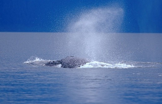 Humpback Whale Megaptera novaeangliae, blowing air out of his spiracles , Alaska, America : Stock Photo