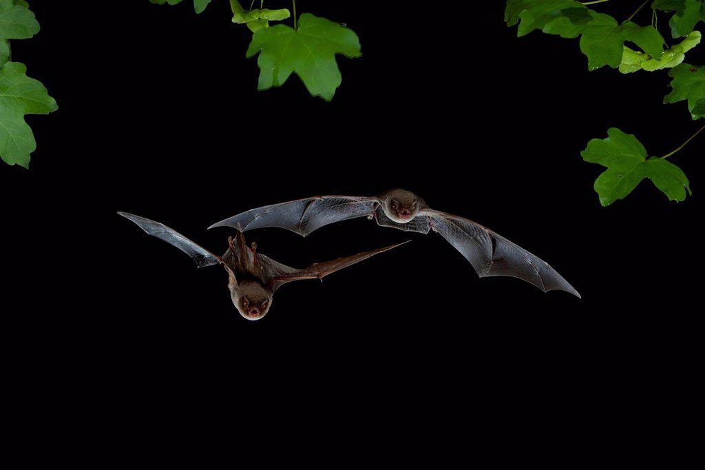 Bent-wing Bats, Schreibers' Long-fingered Bats or Schreibers' Bats (Miniopterus schreibersii) in flight : Stock Photo