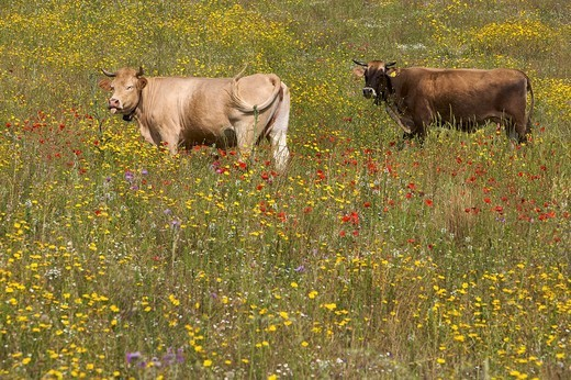 Stock Photo: 1848-78353 Cows standing in a flower meadow in Sardinia, Italy, Europe