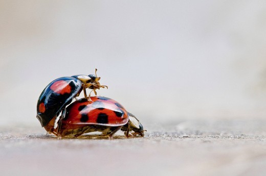 Two ladybird beetles in copulo : Stock Photo