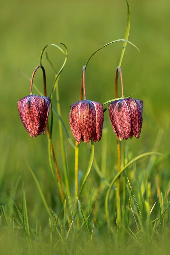Snake's Head Fritillary or Checkered Lily (Fritillaria meleagris) : Stock Photo