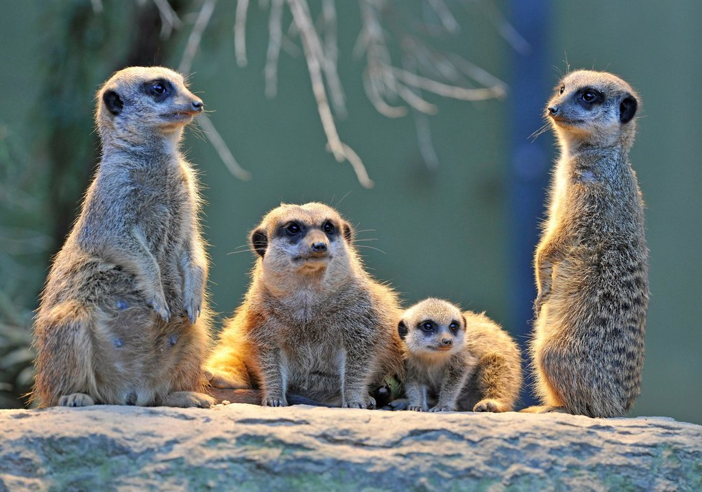 Stock Photo: 1848-790840 Meerkat or Suricate (Suricata suricatta), pups with adults, occurrence in Africa, captive