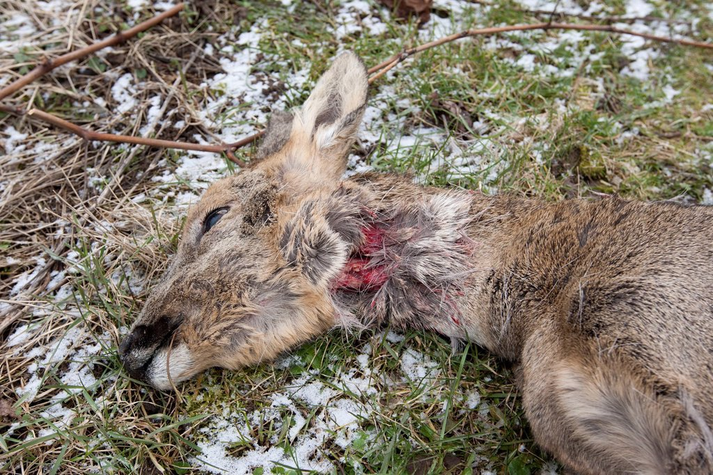 Stock Photo: 1848-791947 Roe Deer (Capreolus capreolus) killed by a dog