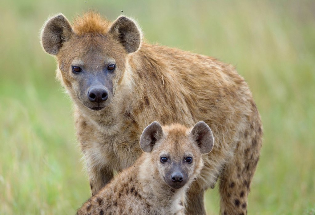 Spotted Hyena or Laughing Hyena (Crocuta crocuta) adult with cub : Stock Photo