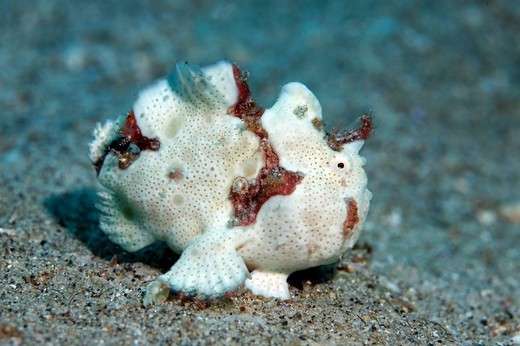 Juvenile Painted Frogfish Antennarius pictus on the sandy ocean floor, Gangga Island, Bangka Islands, North Sulawesi, Indonesia, Molukka Sea, Pacific Ocean, Asia : Stock Photo