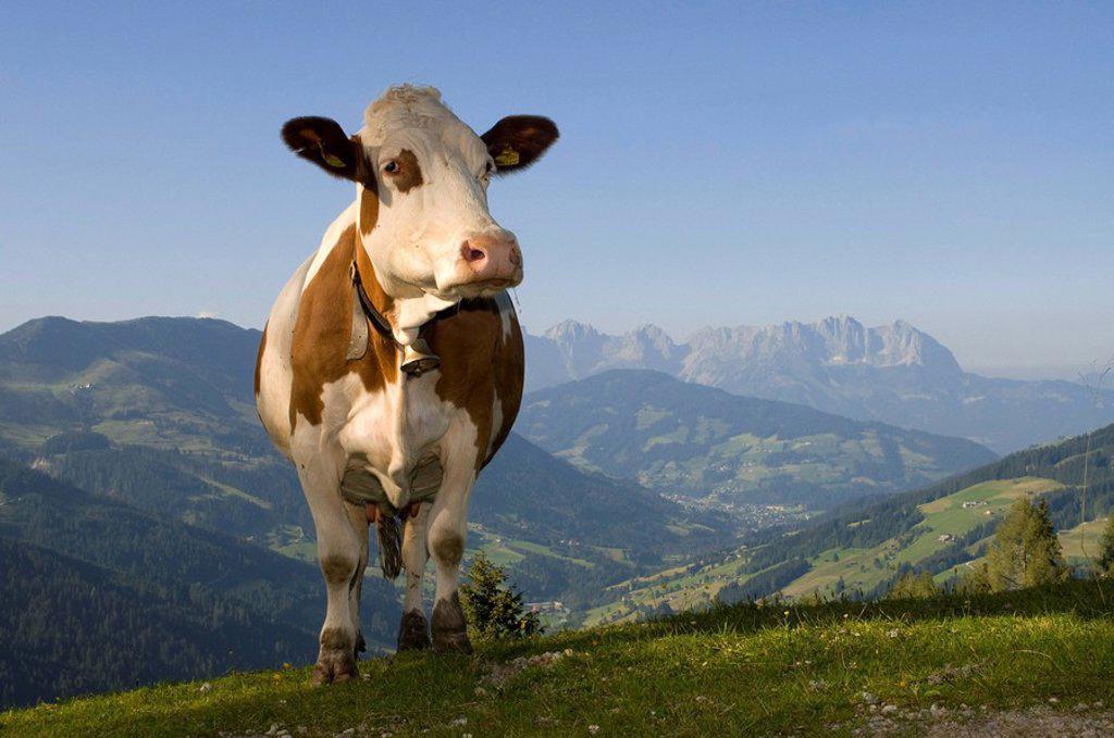 Cow on alpine pasture, Hirzegg alpine pasture, Spertental, Kirchberg, Tyrol, Austria, Europe : Stock Photo