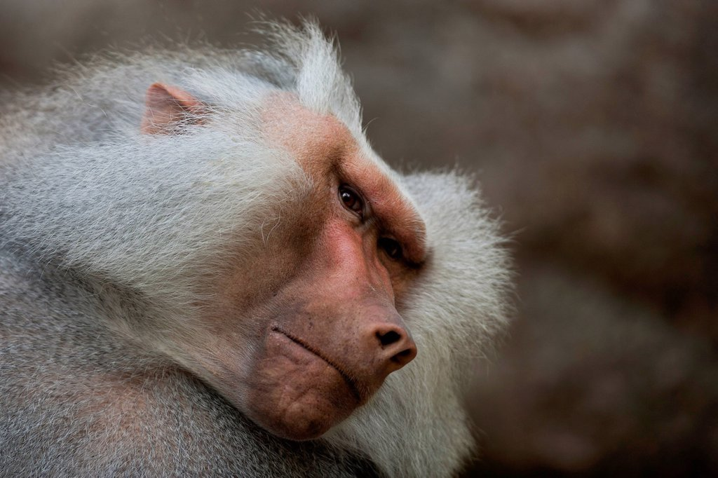 Stock Photo: 1848-824031 Hamadryas Baboon (Papio hamadryas), Hellabrunn Zoo, Munich, Bavaria, Germany