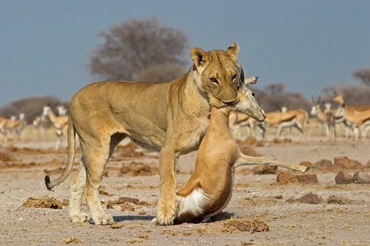 Lion, Lioness Panthera leo with a killed springbok, Antidorcas marsupialis, Nxai Pan, Makgadikgadi Pan National Park, Botswana, Africa : Stock Photo