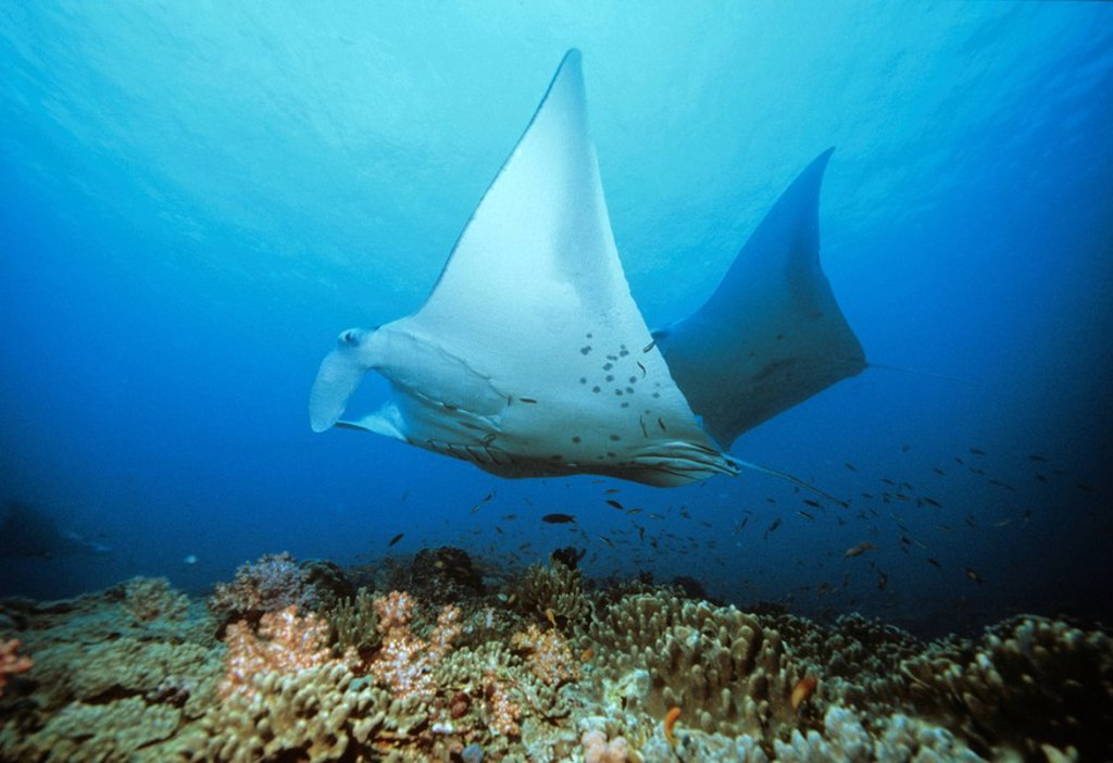Stock Photo: 1848-83854 Giant Manta Ray Manta birostris and coral, underwater photograph, Indian Ocean