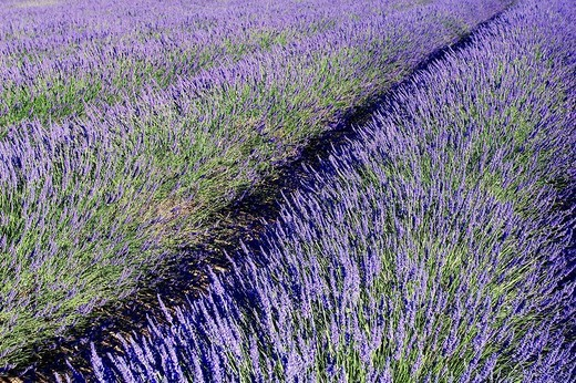 Stock Photo: 1848-84157 Blooming lavender Lavendula angustifolia in a field, Provence, Southern France, Europe