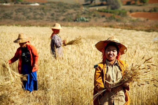 Stock Photo: 1848-84169 Women on the field at harvest of wheat near Pindaya Shan State Burma