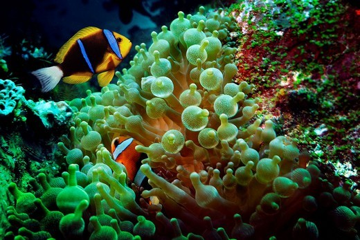 Stock Photo: 1848-84369 Orange_fin Anemonefish Amphiprion chrysopterus in Magnificent Sea Anemone Heteractis magnifica, Komodo National Park, World Heritage Site, Komodo, Indonesia, Southeast Asia