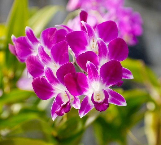 Blossoming orchid Phuket Island Southern Thailand Southeast Asia : Stock Photo