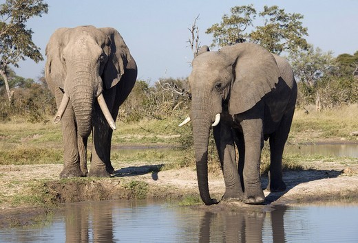 African elephants Loxodonta africana at a waterhole, Chobe National Park, Botswana, Africa : Stock Photo