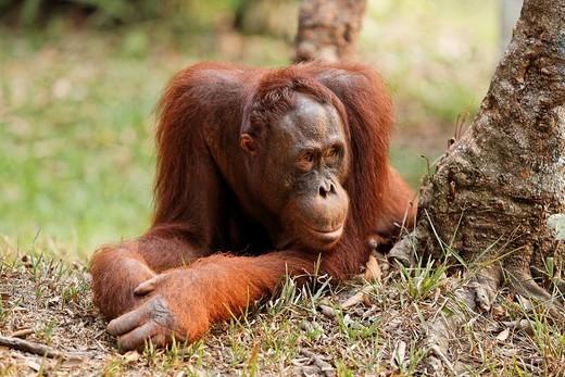 Stock Photo: 1848-85537 Orang_utan Pongo pygmaeus in Tanjung Puting national park, Central_Kalimantan, Borneo, Indonesia
