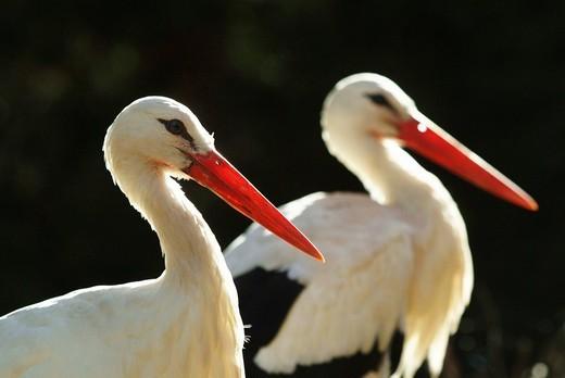 Stock Photo: 1848-85977 White Storks Ciconia ciconia, ZOOM Erlebniswelt Zoo, Gelsenkirchen, North Rhine_Westphalia, Germany, Europe