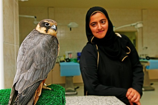 Tree falcon and visitor in the falcon clinic Abu Dhabi Falcon Hospital, Emirat Abu Dhabi, United Arab Emirates, Asia : Stock Photo