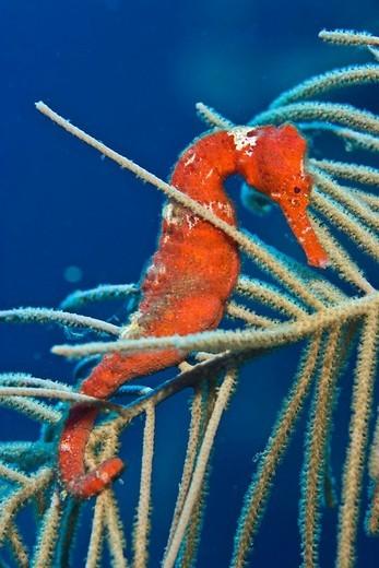 Red Longsnout Seahorse or Slender Seahorse Hippocampus reidi hiding among soft coral, Roatan, Honduras, Caribbean : Stock Photo