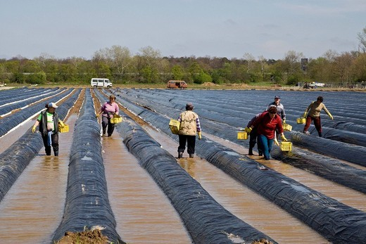 Asparagus cutters from Poland working on an asparagus field covered with dark tarpaulins to support growth, furrows filled with water, Darmstadt, Hesse, Germany, Europe : Stock Photo
