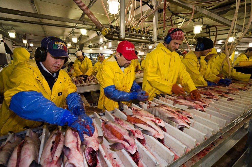 Wild Salmon processing, salmon factory, Alaska, USA, North America : Stock Photo