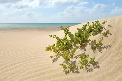 Stock Photo: 1848-90693 Plant growing on Praia de Carlota Beach, Boa Vista Island, Republic of Cape Verde, Africa