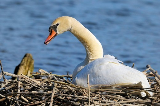 Mute Swan Cygnus olor brooding on a nest, Danube_Auen, Ulm, Baden_Wuerttemberg, Germany, Europe : Stock Photo